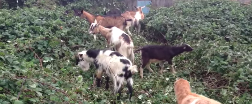 goats_eating